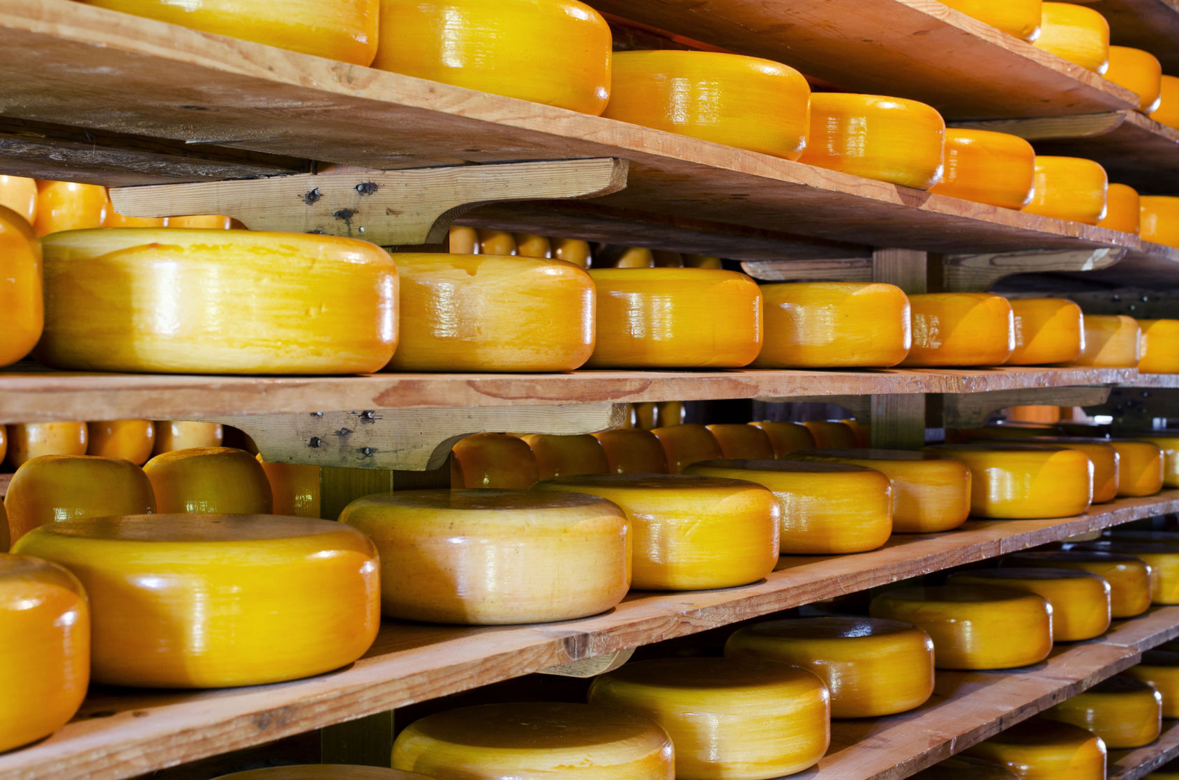 Racks of round cheddar cheese
